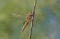 342950028 a wild male spot-winged glider pantala hymenaea perches on a dead tree limb in yuma county arizona