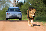 Lion, Panthera leo, and tourist vehicle, Kruger national Park, South Africa
