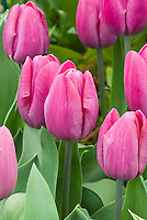 Tulipa 'Don Quixote' tulips