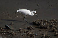 A Snowy egret probes the shallow waters along San Francisco Bay, looking for food.