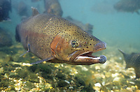 Rainbow Trout, Underwater