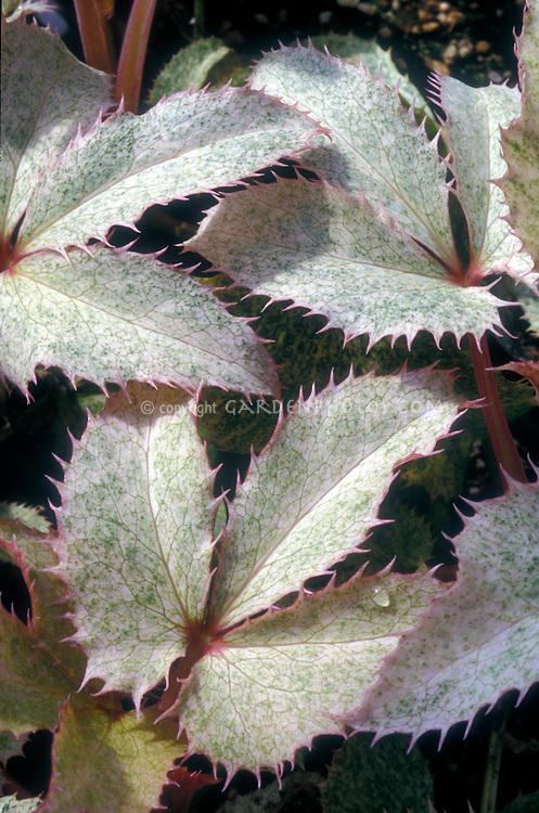 Helleborus argutifolius 'Pacific Frost' hellebore