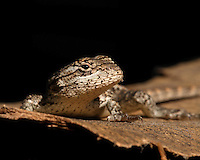 The Texas Spiny Lizard (Sceloporus olivaceus) is a species of phrynosomatid lizard native to the south central United States, in the states of Texas and Oklahoma, and northeastern Mexico in the states of Coahuila, Nuevo León, Tamaulipas, and San Luis Potosí.