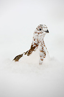 Willow ptarmigan in a transition stage to winter plumage is well camouflaged among willow branches, Brooks range, Arctic, Alaska.6