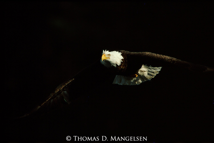 Portrait of a bald eagle flying in the early morning in Glacier National Park, Montana.