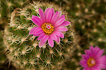 Magenta flowers blooming on the barrel shaped cactus