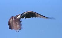 An Ospry in flight in Daytona Beach, FL(Photo by Brian Cleary/www.bcpix.com)