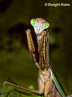 1M38-245z  Praying Mantis adult displaying in praying position - Tenodera aridifolia sinensis
