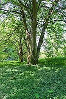 Vinca groundcover under Fagus sylvatica (European Beech) specimen tree