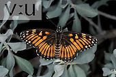Chinate Checkerspot (Thessalia chinatiensis) Texas