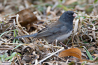 Dark-eyed Junco standing on some dried grass