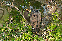541710170 two wild adult common black hawks hold a branch they are adding to their large stick nest in preparation for laying eggs and rearing young in northeastern mexico