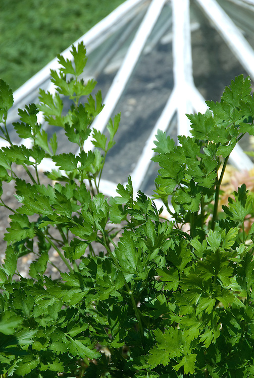 Hamburg Turnip-Rooted parsley, early July. An ancient variety with large white, parsnip-like roots used grated in salads and as a cooked vegetable, with a flavour between carrot,  parsnip and celery.