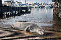 A Hawaiian monk seal (Monachus schauinslandi) basking on a boat ramp, Honokohau Harbor, Kona Coast, Big Island