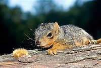 Baby eastern fox squirrel, Sciurus carolinensis, opens his eyes from his nap on a branch and sees a yellow wooly caterpillar