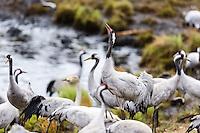 Sweden, Lake Hornborga. Annual migration of Common Cranes.