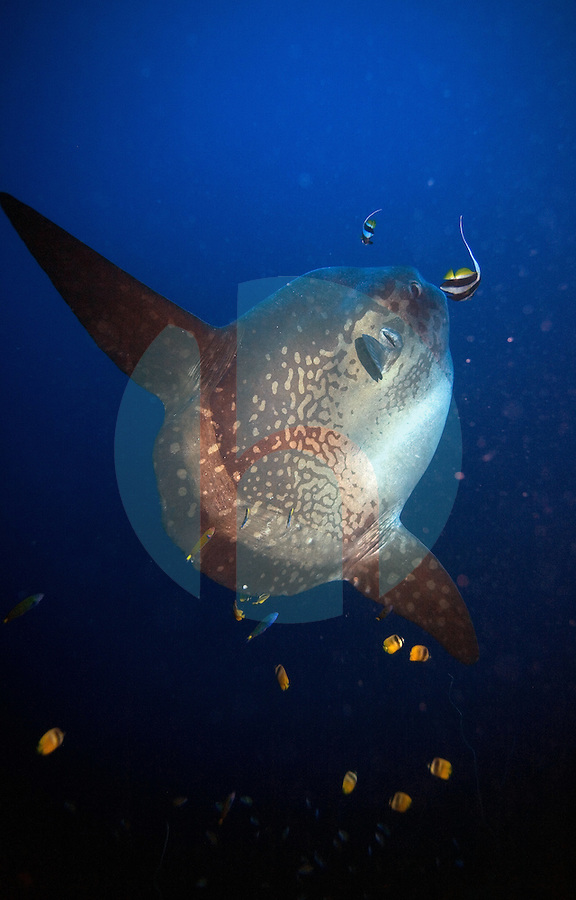 September 6th 2007- Bali, Indonesia- A Mola Mola, or Sunfish levitates while hanging at a cleaning station at the Crystal Bay dive site on Nusa Penida Island in Bali. Although mola mola can be spotted year-round, there is now a ÒseasonÓ for spotting them, running from July through October. That is the dry season in the southern-hemisphere island, and the equivalent of winter, at least underwater, where the lack of rainfall leads to upswellings of cold water from the depths. Water temperatures drop from the typical 28 degrees centigrade to 20 degrees or lower, and these slow-moving giants levitate towards the surface with the chill water, keen to let cleaner fish nibble the parasites away from their skin.  Photograph by Daniel J. Groshong/Tayo Photo Group