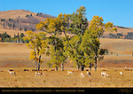 Pronghorns and Bison in the Cottonwoods, Lamar Valley in Autumn, Yellowstone National Park, Wyoming