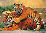 Tiger Play<br />