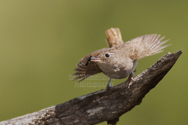 House Wren,Troglodytes aedon,adult with prey,Rocky Mountain National Park, Colorado, USA