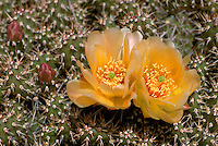 Brittle Prickly Pear Cactus (Opuntia fragilis) blooming in South Okanagan Valley, BC, British Columbia, Canada - aka Little Prickly Pear Cactus