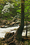 Ancient sycamore and flowering dogwood tree along Middle Prong of Little River, Tremont