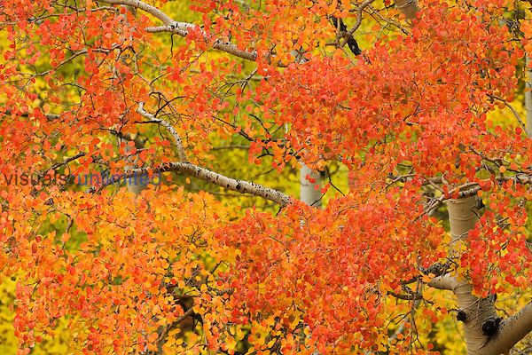 Orange, yellow, and red leaves on an Aspen tree in autumn along the San Miguel River, Colorado, USA (Populus tremuloides).