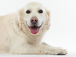 Studio portrait of a Golder retriever isolated on white background