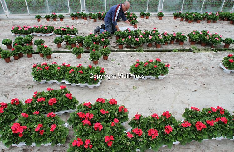 VidiPhoto..BEMMEL - Nederland kan weer massaal achter de geraniums. De ouderwetse kamerplant is weer helemaal terug van weggeweest. Bij kweker Bejafleur in Bemmel worden op dit moment zo'n 360.000 planten 'geraapt'. De trend is gezet in Duitsland en de Oostbloklanden, maar ook de Nederlandse consument heeft de plant herontdekt. Reden is het grotere assortiment in soorten en de kleuren zijn mooier en feller. De geranium (perlagonium grandiflorum) is vanwege het gunstige klimaat een bij uitstek Nederlands product.