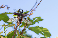 Hirschkäfer, Männchen, Abflug, Hornschröter, Hirsch-Käfer, Lucanus cervus, Stag beetle, male, Schröter, Lucanidae, Stag beetles