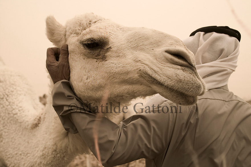 KUWAIT. OUTSKIRTS OF KUWAIT CITY. Camel farms. Beduin and his camel