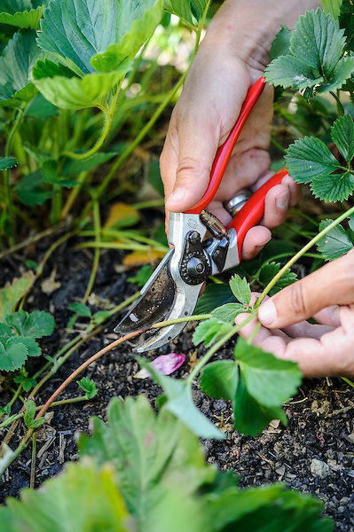 Cutting off Strawberry runners