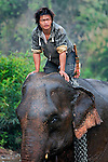 An Asian elephant (elephas maximus)with the mahout after having it's morning bath at Pak Lai, Laos.
