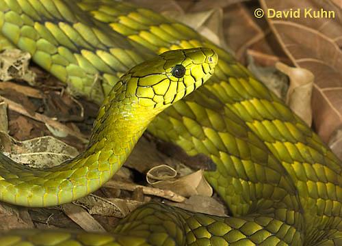 0423-1117  Western Green Mamba (West African Green Mamba), Dendroaspis viridis  © David Kuhn/Dwight Kuhn Photography