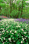 Wild garlic and bluebells in spring woodland, Yorkshire