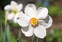 Narcissus Actaea daffodils spring flowering bulbs in bloom, white with small cup center, poeticus type