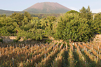 A field of pomodorino piennolo del Vesuvio tomatoes growing with Mount Vesuvius in the background
