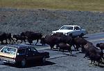 bison hear crossing road in Hayden Valley