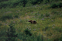 """A brown bear on a hillside causes a """"bear jam"""" in Glacier National Park as tourists stop their vehicles to watch with fascination.  Rangers often come onto the scene moving people along because as the bears become more accustomed to humans, they loose their fear.  Bear attacks are not out of the ordinary in this park. The bears come down low onto the hillsides to eat huckleberries in the late summer.   This park is one of the last bastions of grizzly bear country.  Moose, elk, mountain goats, bighorn sheep--at least 57 species of mammals and 210 species of birds also make the region their home.   Thousands of waterfalls tumble from glacial snow masses into lakes and streams, surrounded by fog-covered primitive forests.   Mount Cleveland, Glacier's highest peak, measures 10,448 feet.  Waterton-Glacier International Peace Park is the official name because the area covers Canada, spilling over into Montana."""