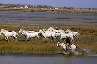 Europe/France/Provence-Alpes-Côte d'Azur/13/Bouches-du-Rhône/Camargue/Les Saintes Maries de la Mer: Gardian et chevaux dans les marais