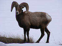 Bighorn Sheep in Montana