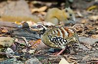 Bar-backed Partridge (Arborophila brunneopectus) foraging on the forest floor. (Kaeng Krachan, Thailand)