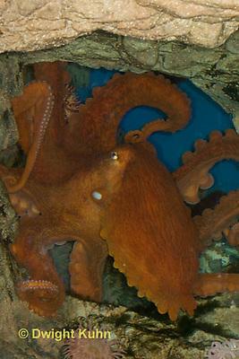 1Y50-501z  Giant Pacific Octopus, Enteroctopus dofleini