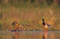 Mallard, Anas platyrhynchos, pair interacting, Lake Corpus Christi, Texas, USA, April 2003