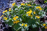 Caltha palustris in wet boggy moist soil in the wild