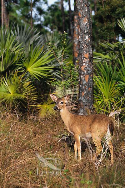 Florida Key Deer (Odocoileus virginianus clavium).  National Key Deer Refuge, Florida.