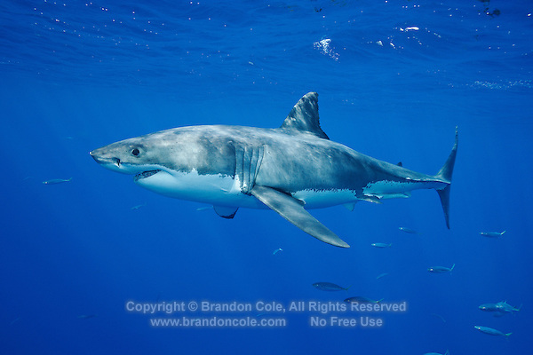 py0022-D. Great White Shark (Carcharodon carcharias). Guadalupe Island, Mexico, Pacific Ocean..Photo Copyright © Brandon Cole. All rights reserved worldwide.  www.brandoncole.com..This photo is NOT free. It is NOT in the public domain. This photo is a Copyrighted Work, registered with the US Copyright Office. .Rights to reproduction of photograph granted only upon payment in full of agreed upon licensing fee. Any use of this photo prior to such payment is an infringement of copyright and punishable by fines up to  $150,000 USD...Brandon Cole.MARINE PHOTOGRAPHY.http://www.brandoncole.com.email: brandoncole@msn.com.4917 N. Boeing Rd..Spokane Valley, WA  99206  USA.tel: 509-535-3489