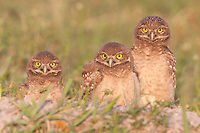 Three Burrowing Owl (Athene cunicularia) fledglings standing near the entrance to their burrow
