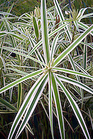 Carex phyllocephala Sparkler, Palm Sedge
