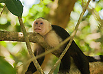 A white-faced capuchin, Cebus capucinus, relaxes on a branch in Manuel Antonio National Park, Costa Rica